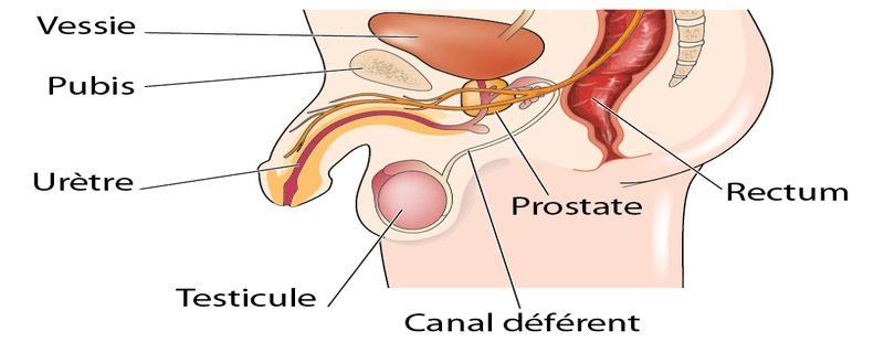 anatomie-de-la-prostate